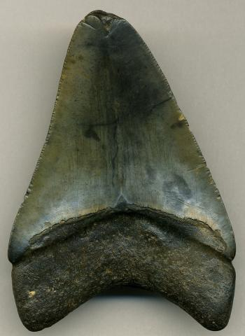 Megalodon fossil shark tooth