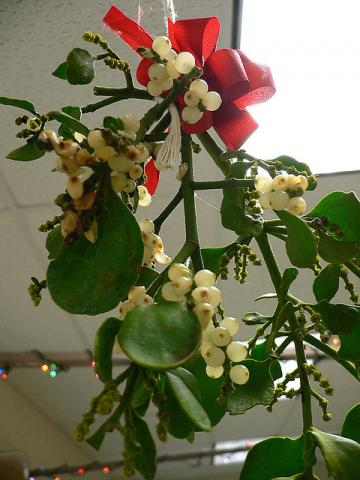 Mistletoe with white berries