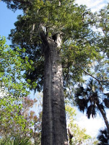 Oldest bald cypress tree in the world