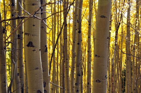 Quaking aspen trees