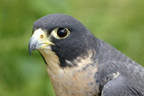 State Raptor Of Idaho Peregrine Falcon