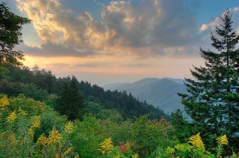 Pine trees in Great Smoky Mountains National Park, North Carolina