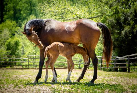 Thoroughbred mare with foal