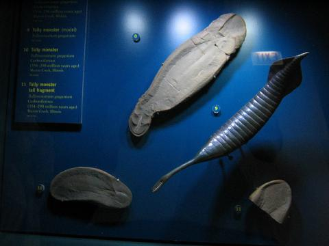 Tully monster fossil and model