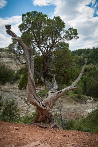 Twisted tree in Theodore Roosevelt National Park in North Dakota