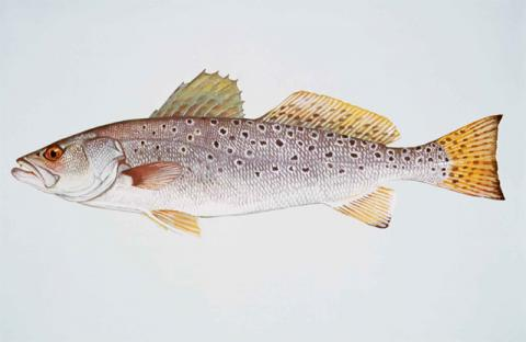 Weakfish