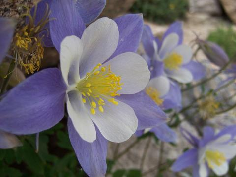 White and Lavender Rocky Mountain Columbines; symbol of Colorado