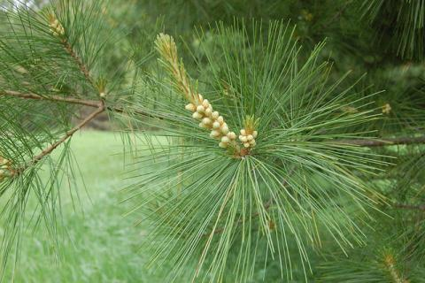 Male eastern white pine cones and candle