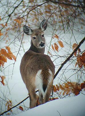 Beautiful white-tailed deer doe
