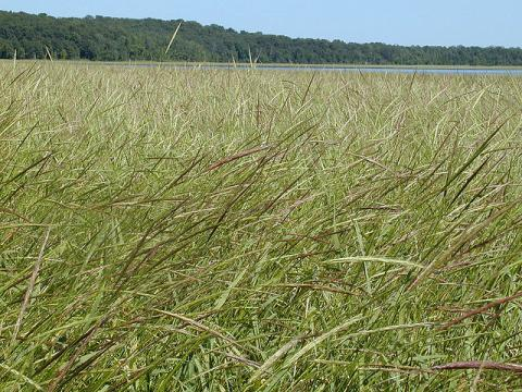 Natural wild rice bed in Minnesota