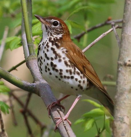 Wood thrush; District of Columbia's official bird symbol.