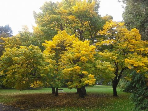 Yellowwood trees in autumn