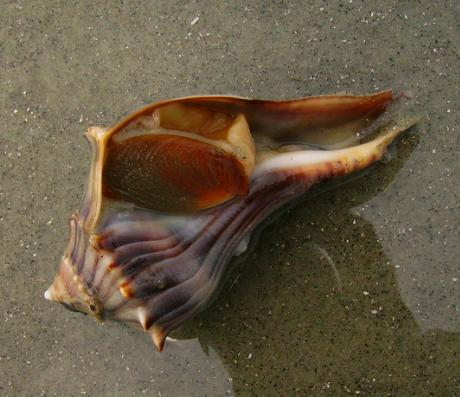 Live knobbed whelk