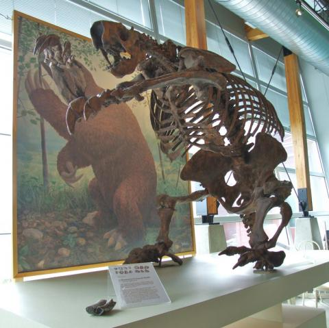 Jefferson's ground sloth fossil skeleton; Megalonyx jeffersonii