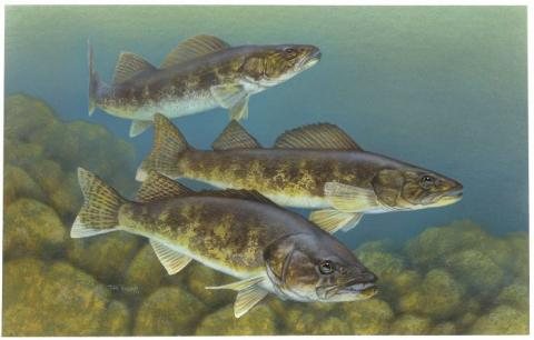 Walleye (Sander vitreus) artwork