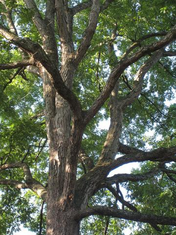 White oak tree limbs (Quercus alba)