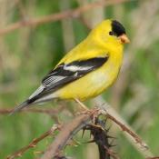 Male American goldfinch (willow goldfinch)
