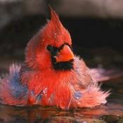 Northern cardinal taking a bath