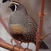 California valley quail