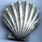 Chesapecten jeffersonius (Pliocene scallop) fossil