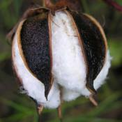 boll of cotton