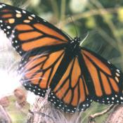 Female monarch butterfly on milkweed