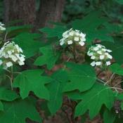 Oak-leaf hydrangea; the state wildflower of Alabama