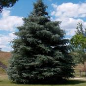 Black Hills white spruce tree