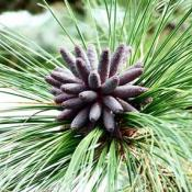 Southern longleaf pine cones