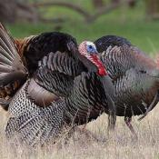 Wild turkeys - state symbol of Alabama, Massachusetts, Oklahoma, S. Carolina