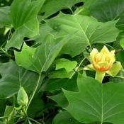 Tulip poplar blossom and leaves (Liriodendron tulipifera)