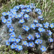Alpine forget-me-not flowers