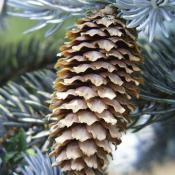 Colorado Blue Spruce (Picea pungens) needles and cone