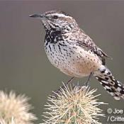 Arizona state bird - cactus wren