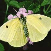 Female California Dogface butterfly