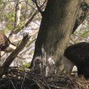 Bald eagle pair with eaglet in nest