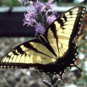Eastern Tiger Swallowtail butterfly on flower
