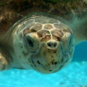 Adult loggerhead sea turtle