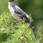Northern mockingbird on mesquite branch