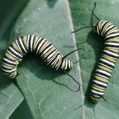 Monarch butterfly caterpillers