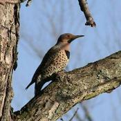 Alabama State Bird - Northern Flicker