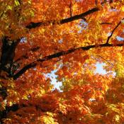 Oak tree - autumn glory