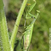 European praying mantis: Mantis religiosa