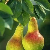 Pears (Pyrus communis) official state fruit of Oregon