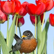 American robin in tulips