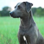 Blue Lacy Dog
