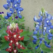 Bluebonnets and a maroon bluebonnet