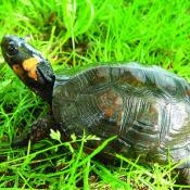Bog turtle; the official reptile symbol of New Jersey