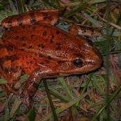 California State Amphibian - California red-legged frog (Rana draytonii)