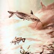 Channel catfish (Ictalurus punctatus) artwork